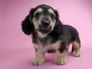 サリー & クッキーの子犬 ブラッククリーム 男の子