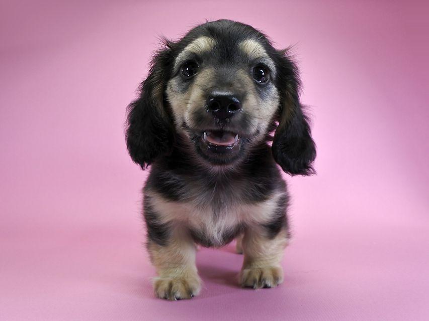 ダックスフンド カニンヘン サリー & クッキーの子犬 ブラッククリーム 男の子