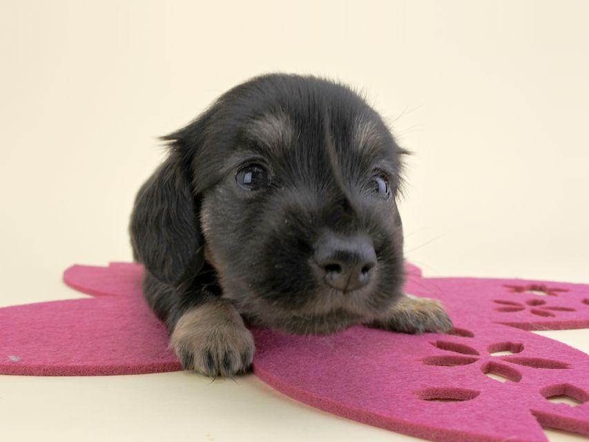 カニンヘンダックス ルル & ナイトの子犬 ブラックイエロー 女の子 お写真初登場