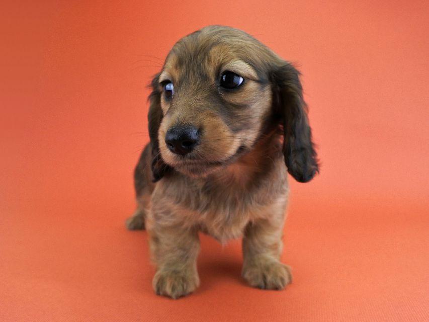 カニンヘンダックス ココ & ジャンの子犬 レッド 女の子