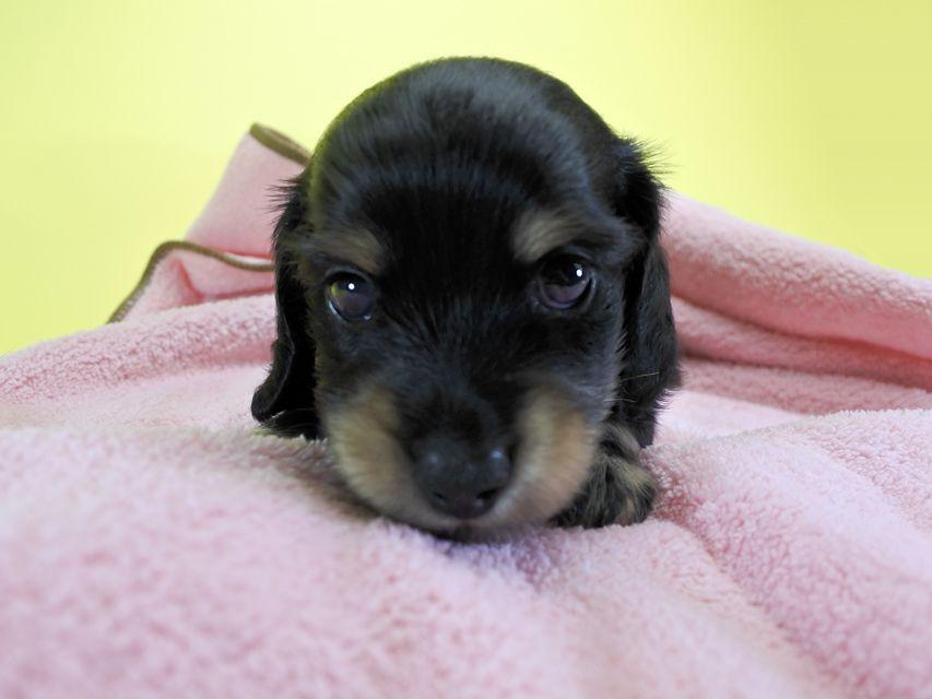 ダックスフンド カニンヘン クム.2 & オスカルの子犬 ブラッククリーム 男の子