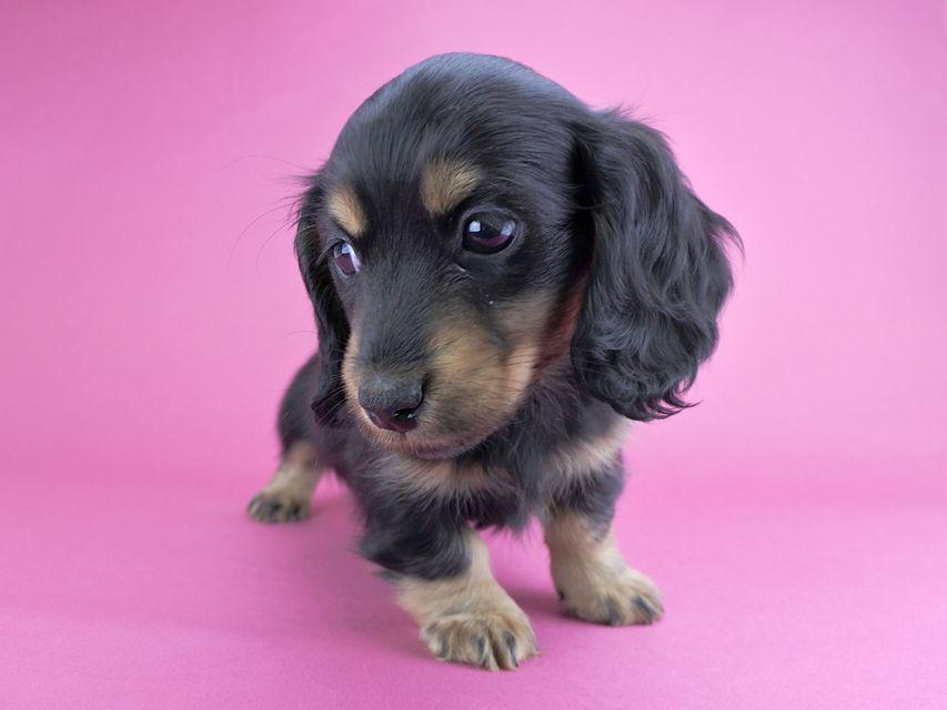 カニンヘンダックス リールー & ジャンの子犬 ブラックタン 女の子