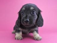 ルル & ナイトの子犬 ブラックイエロー 女の子