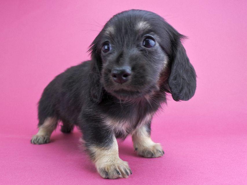 カニンヘンダックス ルル & ナイトの子犬 ブラックイエロー 女の子