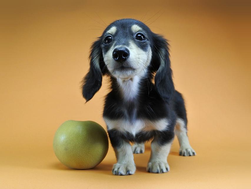 カニンヘンダックス グリム & 武蔵の子犬 ブラッククリーム 男の子