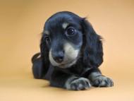 クム.2 & オスカルの子犬 ブラッククリーム 男の子