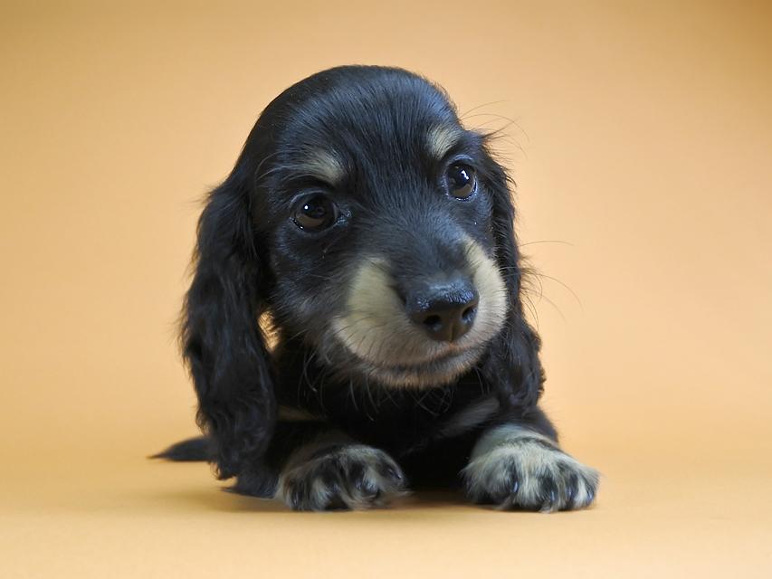 カニンヘンダックス クム.2 & オスカルの子犬 ブラッククリーム 男の子
