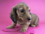 ココ & ジャンの子犬 レッド 女の子
