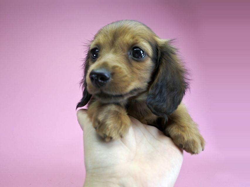 カニンヘンダックス ひまわり & ジムの子犬 レッド 女の子