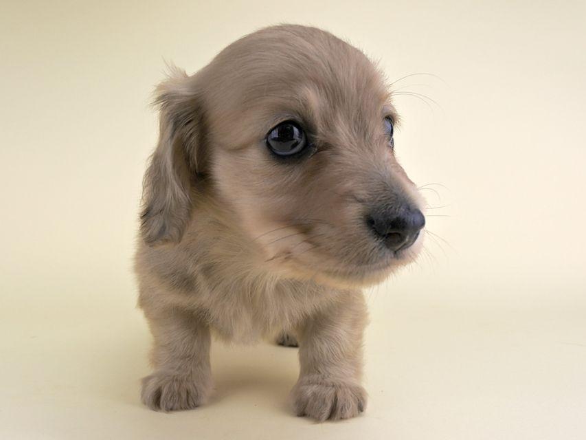 カニンヘンダックス アン.2 & たけるの子犬 イエロー 女の子