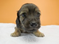 シャーロット.cs & ジムダンディの子犬 シェーデットクリーム 女の子(1) お写真初登場