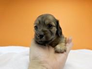 シャーロット.cs & ジムダンディの子犬 シェーデットクリーム 女の子(2) お写真初登場