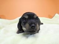 アンジー.cs & クッキーの子犬 ブラッククリーム 女の子 お写真初登場