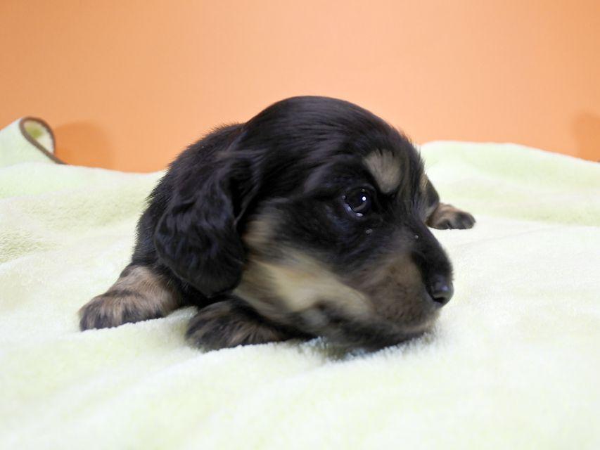 カニンヘンダックス アンジー.cs & クッキーの子犬 ブラッククリーム 女の子 お写真初登場