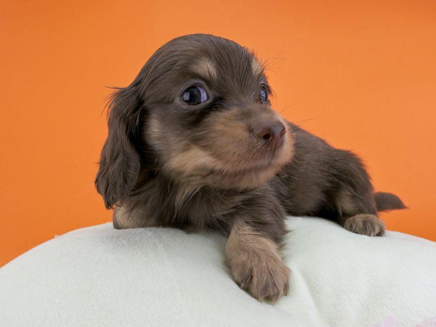 カニンヘンダックス ピアス & ナイトの子犬 チョコイエロー 男の子(2) お写真初登場