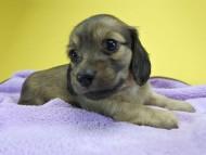シャーロット.cs & ジムダンディの子犬 シェーデットクリーム 女の子(2)
