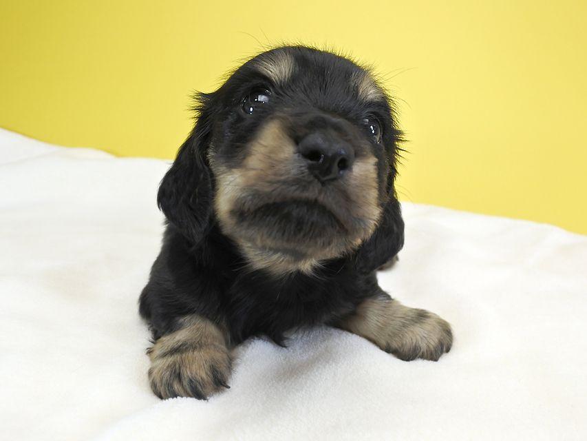 カニンヘンダックス アンジー.cs & クッキーの子犬 ブラッククリーム 女の子