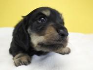 アンジー.cs & クッキーの子犬 ブラッククリーム 女の子