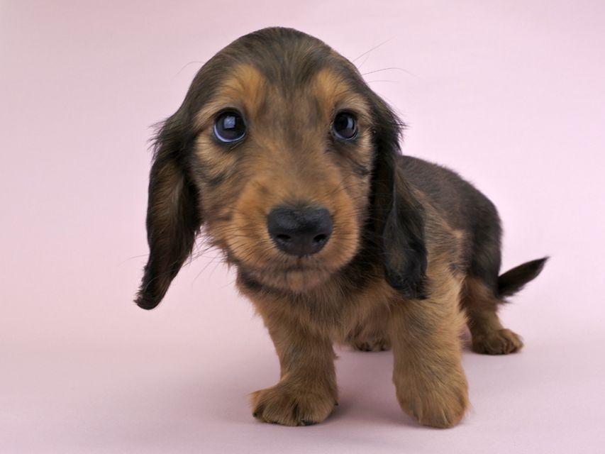 カニンヘンダックス キャンディcs & たけるの子犬 レッド 男の子