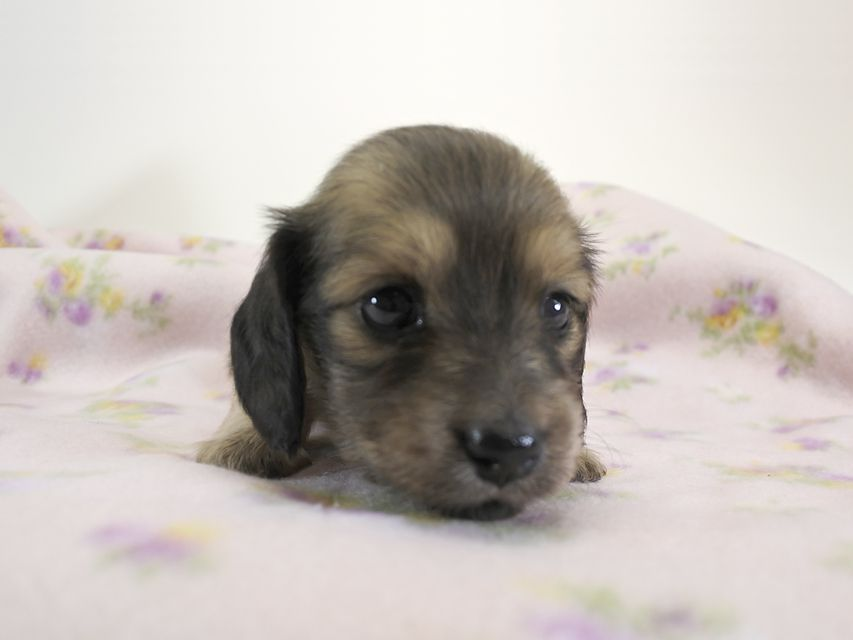 カニンヘンダックス パン & オスカルの子犬 シェーデットクリーム 女の子 お写真初登場