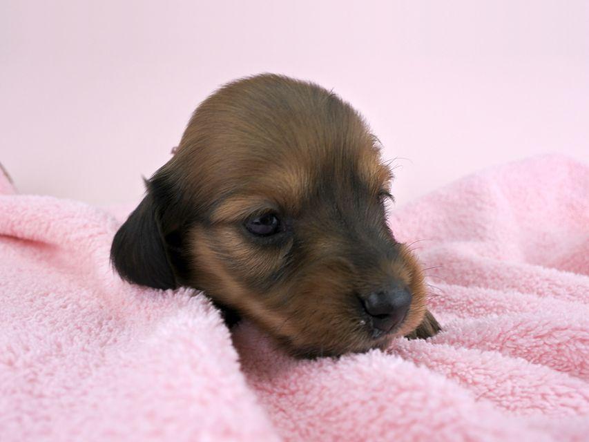 カニンヘンダックス シエラ & たけるの子犬 レッド 女の子(1) お写真初登場