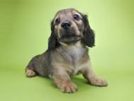 シャーロット.cs & ジムダンディの子犬 レッド 男の子(1)