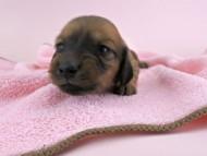 シエラ & たけるの子犬 レッド 女の子(3) お写真初登場