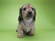 シャーロット.cs & ジムダンディの子犬 レッド 男の子(2)