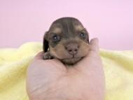 ウズメ & クッキーの子犬 チョコイエロー 女の子 お写真初登場