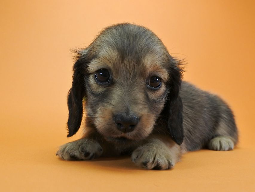 カニンヘンダックス パン & オスカルの子犬 シェーデットクリーム 女の子