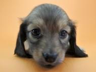 パン & オスカルの子犬 シェーデットクリーム 女の子
