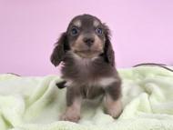 ピアス & ナイトの子犬 チョコイエロー 男の子(1)