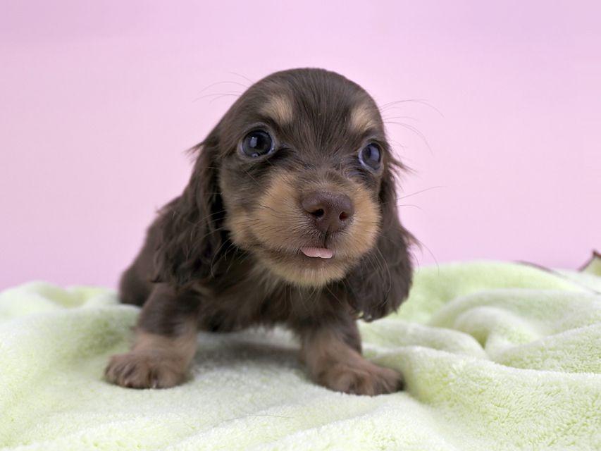 カニンヘンダックス ピアス & ナイトの子犬 チョコイエロー 男の子(2)