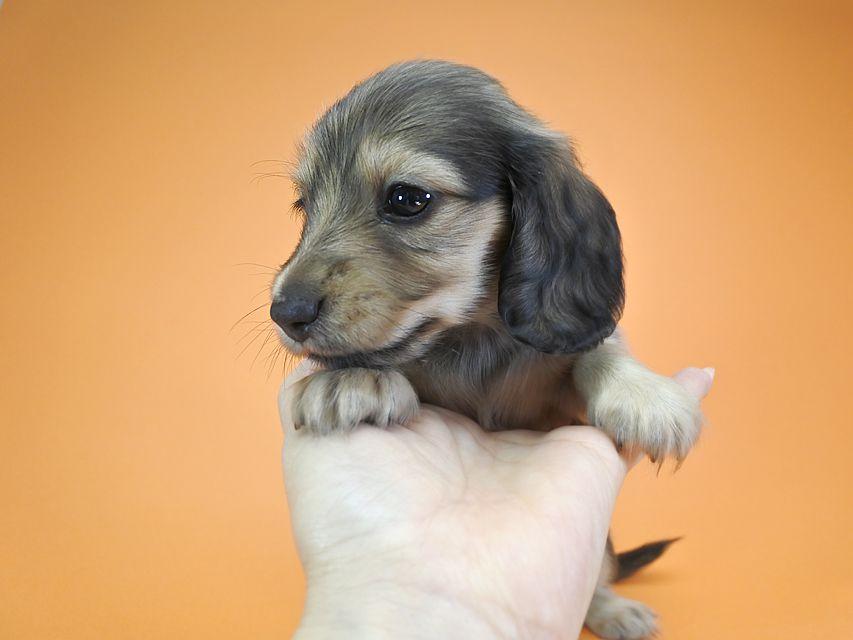 カニンヘンダックス リン & アレックスの子犬 シェーデットクリーム 女の子