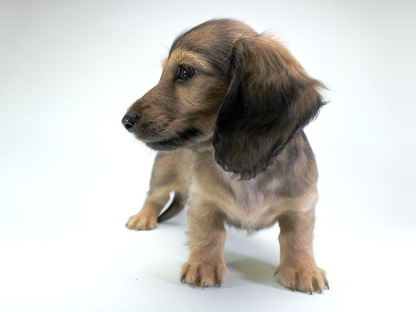 カニンヘンダックス シャーロット.cs & ジムダンディの子犬 シェーデットクリーム 女の子(1)