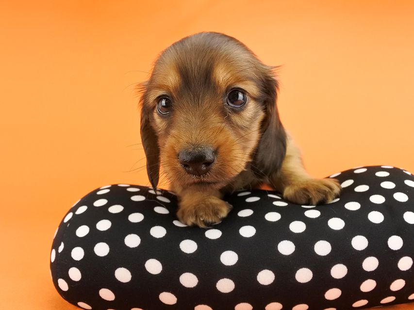 カニンヘンダックス シエラ & たけるの子犬 レッド 女の子(2)
