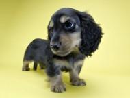 サリーアン & フレディの子犬 ブラックタン 男の子(1) お写真初登場