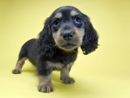 サリーアン & フレディの子犬 ブラックタン 男の子(2) お写真初登場
