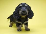 サリーアン & フレディの子犬 ブラックタン 女の子 お写真初登場