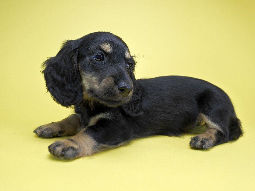 ミニチュアダックス サリーアン & フレディの子犬 ブラックタン 女の子 お写真初登場