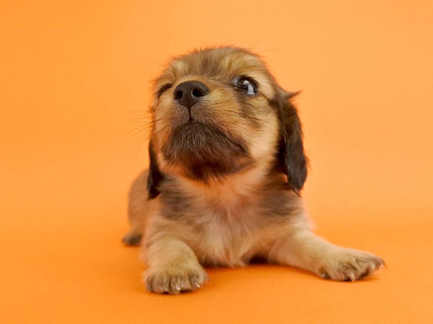 カニンヘンダックス ウズメ & クッキーの子犬 イエロー 女の子