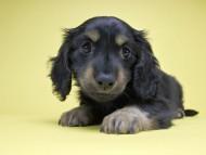 カニンヘンダックス アイビー & ダルクの子犬 ブラックタン 男の子