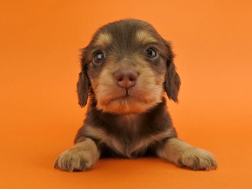カニンヘンダックス ウズメ & クッキーの子犬 チョコイエロー 女の子