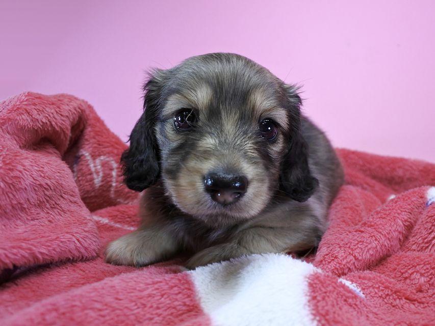 カニンヘンダックス エルサ & アレックスの子犬 シェーデットクリーム 女の子 お写真初登場