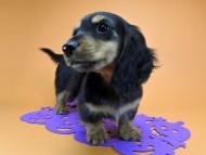 サリーアン & フレディの子犬 ブラックタン 男の子(1)