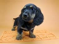 サリーアン & フレディの子犬 ブラックタン 女の子