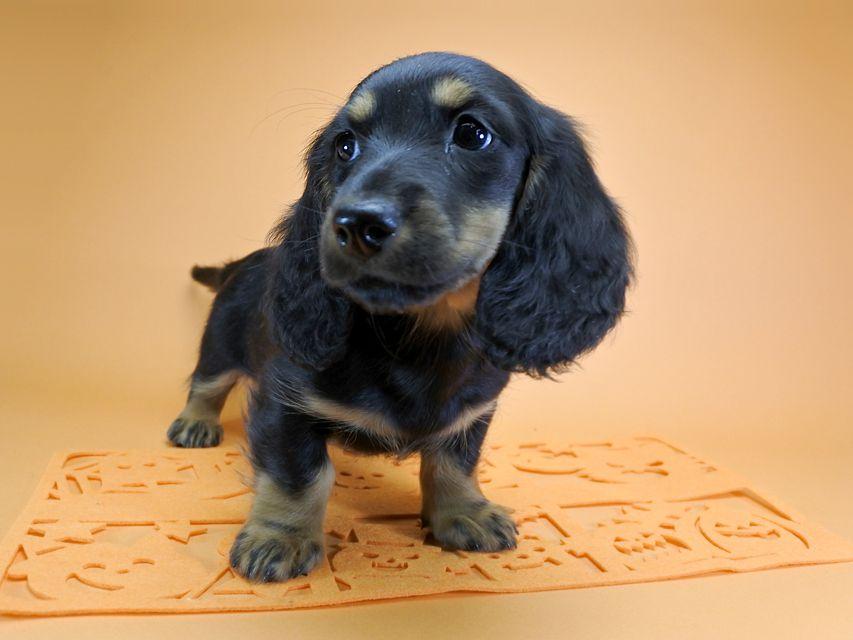 ダックスフンド カニンヘン サリーアン & フレディの子犬 ブラックタン 女の子