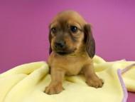 シエラ & たけるの子犬 レッド 女の子(3)