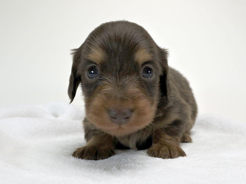カニンヘンダックスフンド コラム & アレックスの子犬 チョコタン 男の子 お写真初登場