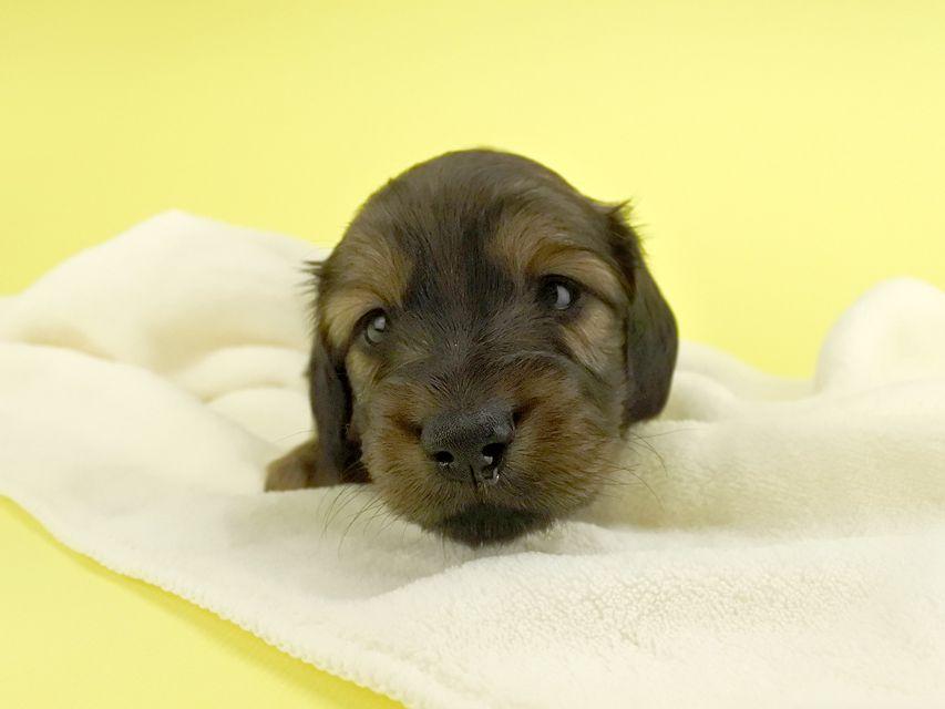 カニンヘンダックス オーロラ & たけるの子犬 レッド 男の子(1) お写真初登場